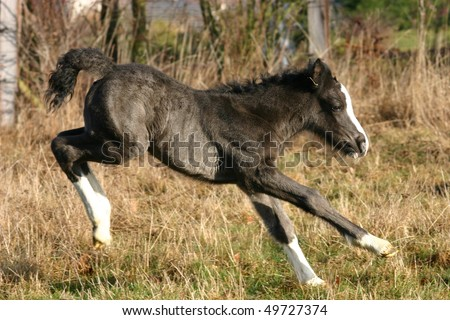 Black Gypsy vanner foal bocking in the pasture - stock photo
