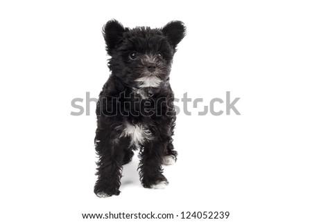 black hairy dog - stock photo