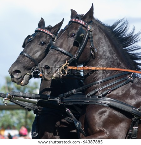 black harness horses running - stock photo