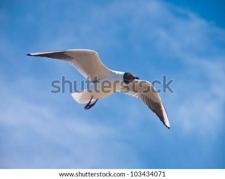 Black-headed gull flying on the bright blue sky with some clouds - stock photo
