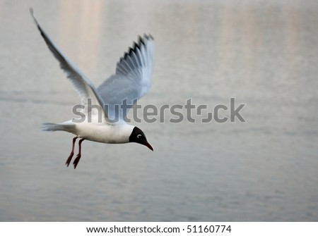 Black-headed gull flying over water surface