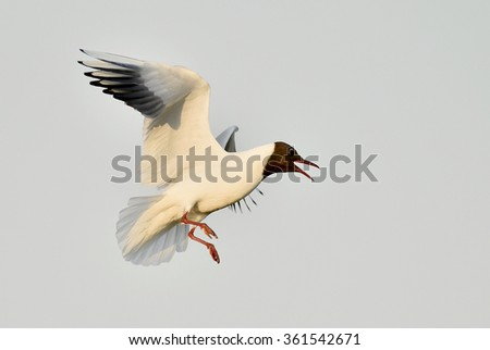 Black-headed Gull (Larus ridibundus) in flight  on the sky background