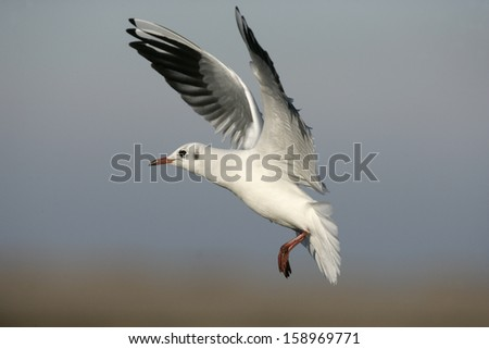 Black-headed gull, Larus ridibundus, single bird in flight, Norfolk