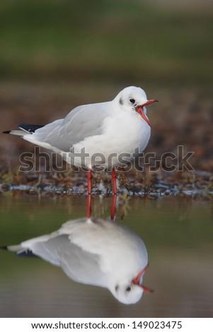 Black-headed gull, Larus ridibundus, single bird in water with reflection, Norfolk, UK, November 2009               - stock photo