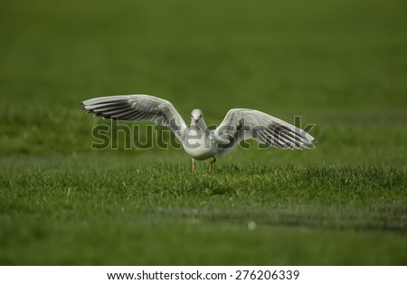 Black headed Gull, Larus ridibundus,  with open wings - stock photo
