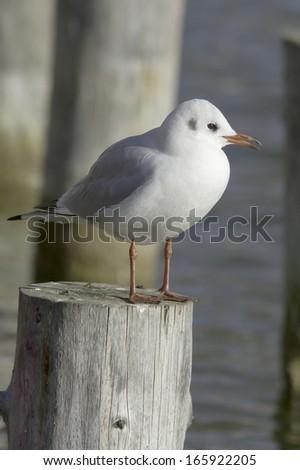 Black-headed Gull resting on the log / Larus ( Chroicocephalus) ridibundus  - stock photo
