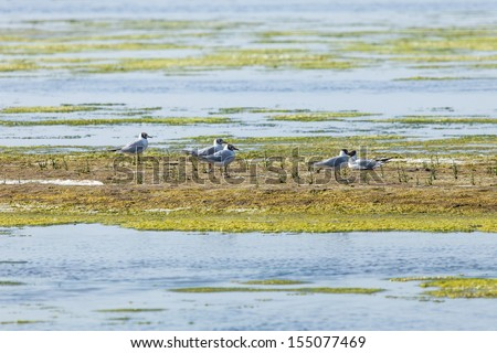 Black-headed gulls in the Slufter, The Dunes of Texel National Park, Netherlands - stock photo