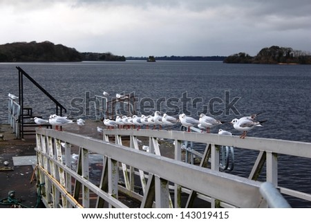 black-headed gulls sitting, this pictures made in Kerry County, Ireland, Ross Castle, Lough Lein - stock photo