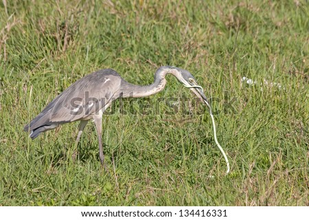 Black-headed Heron (Ardea melanocephala) swallows up green snake catch in grass. Ngorongoro Crater, Tanzania, East Africa. - stock photo
