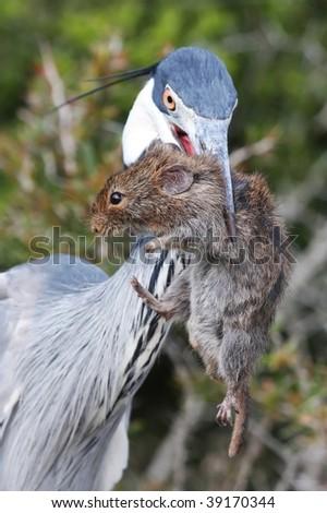 Black-headed heron bird with a large vlei rat in it's beak to eat - stock photo