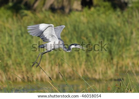 Black-headed heron taking off  in search of food with blurred reeds in the background - stock photo