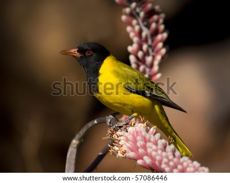 Black-headed Oriole - stock photo