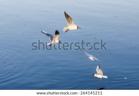 Black-headed seagulls, Chroicocephalus ridibundus, are flying over the blue waters of the Dnieper river in Kiev the capitol of Ukraine - stock photo