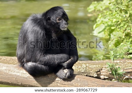 Black-headed spider monkey (Ateles fusciceps) sitting on a tree trunk - stock photo