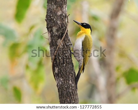 Black-headed Woodpecker (Picus erythropygius) is in  Huai Kha Khaeng Wildlife Sanctuary where is a protected area in Thailand - stock photo