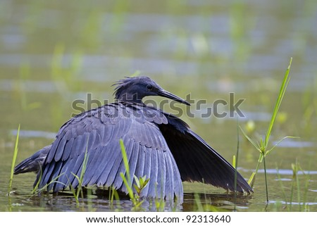 Black heron wading in shallow water with open wings; Egretta ardesiaca - stock photo