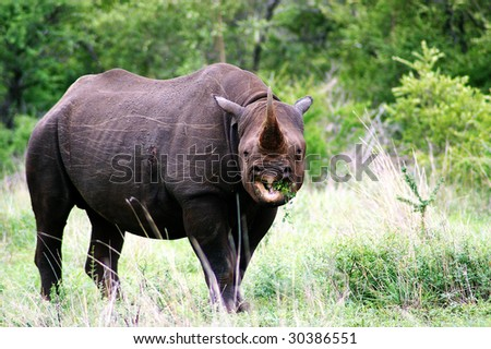 Black,hook lipped Rhino stare - stock photo