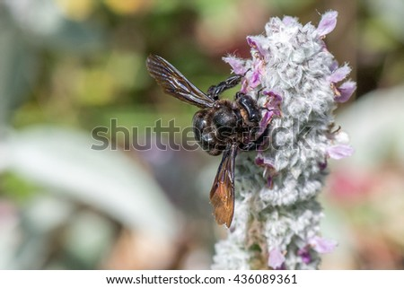 black hornet bee while sucking pollen from stachys rabbit ear flower - stock photo
