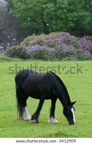 Black horse grazing in the fields - stock photo