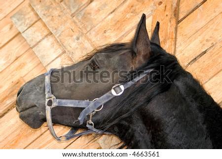 black horse head - stock photo