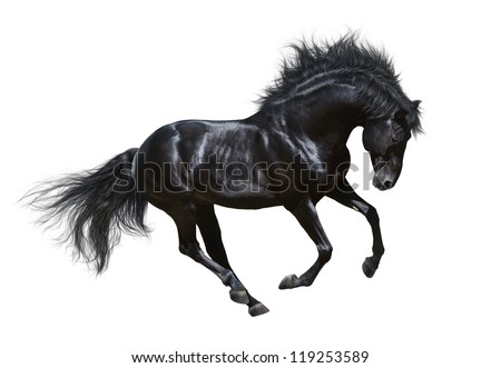 Black horse in motion - on white background - stock photo