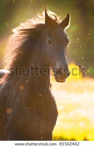 Black horse in sunset golden light portrait - stock photo