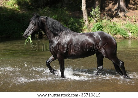 Black horse in the water