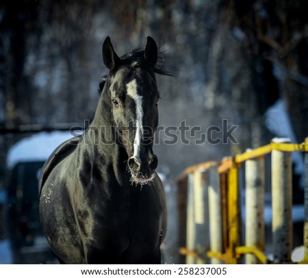 Black horse in winter frontview - stock photo