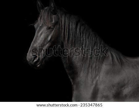 black horse of the race friesian in studio against a dark background