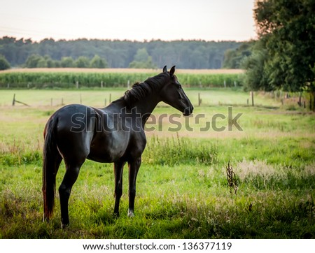 black horse on a meadow at dusk - stock photo