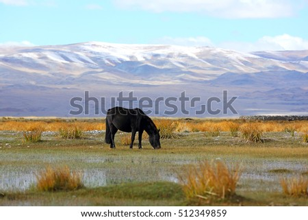 Black horse on grazing alongside the river in Bayan-Ulgii province of western Mongolia