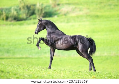 Black horse on green background - stock photo