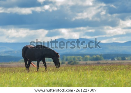 black horse on green meadow - stock photo