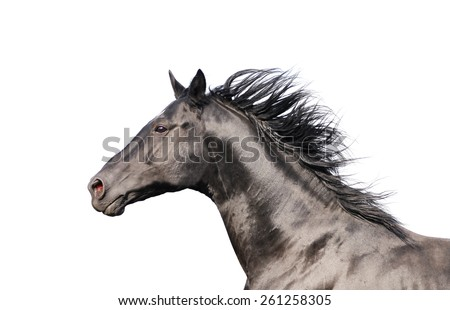 Black horse portrait in action isolated on white - stock photo