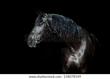 Black horse portrait isolated on black, Ukrainian horse. - stock photo