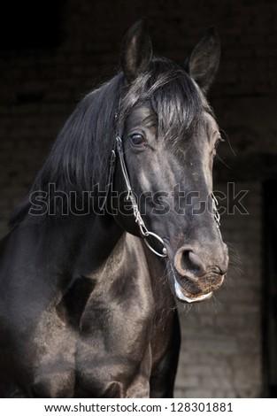 Black horse portrait with dark background - stock photo