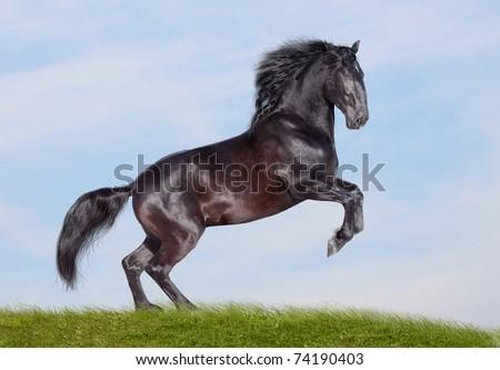 black horse rearing - stock photo