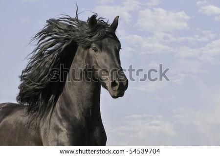black horse run gallop - stock photo