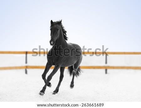 black horse running - stock photo