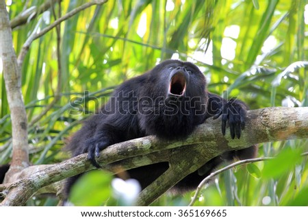 Black Howler monkey, Aluatta pigra, sitting on a tree in Belize jungle and howling like crazy. They are also found in Mexico and Guatemala. They are eating mostly leaves and occasional fruits. - stock photo