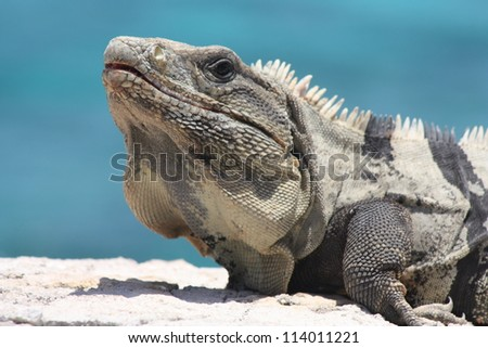 Black iguana sitting on a wall in front of a blue sea
