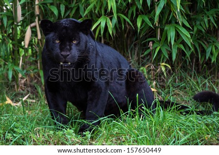 Black jaguar against a background of thick bamboo/Black Jaguar/Black Jaguar