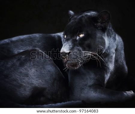 Black Jaguar Cat - stock photo