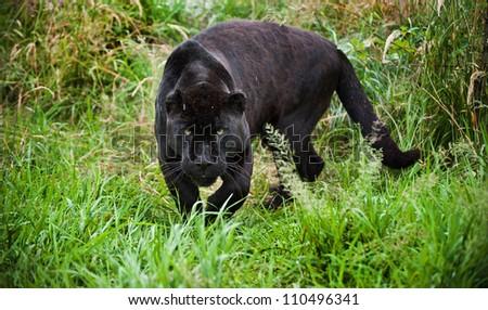 Black jaguar Panthera Onca prowling through long grass in captivity - stock photo