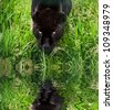 Black jaguar Panthera Onca prowling through long grass in captivity reflected in calm water - stock photo