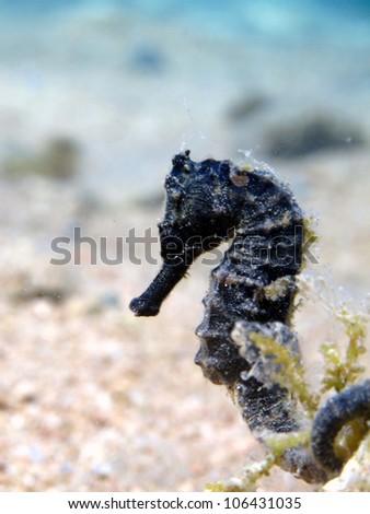 Black jayakars seahorse (Hippocampus jayakarai) - stock photo