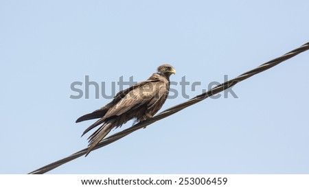 Black Kite, a medium sized bird of pray locally known as Amora, - stock photo