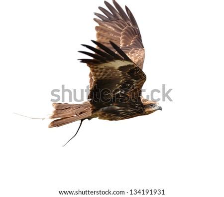 Black Kite Bird - stock photo