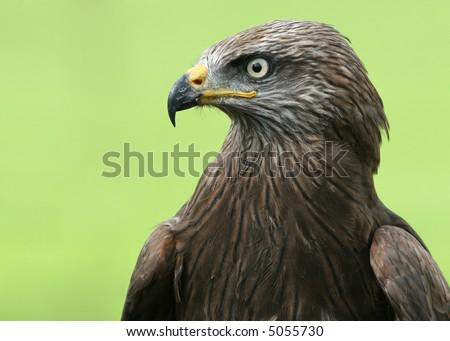 Black Kite, excited - stock photo