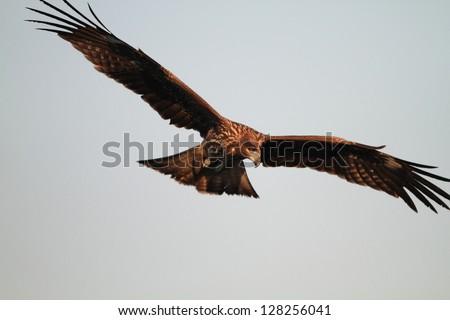 Black Kite flying at blue sky - Milvus migrans - stock photo